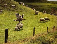 Coyote pounces sheep