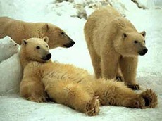 Polar bears hanging out
