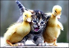 cat in between two baby ducks